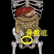 解剖図骨盤底