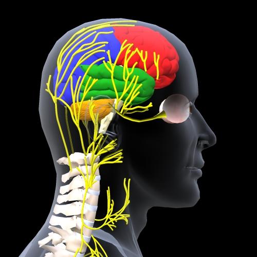 頭蓋感覚神経