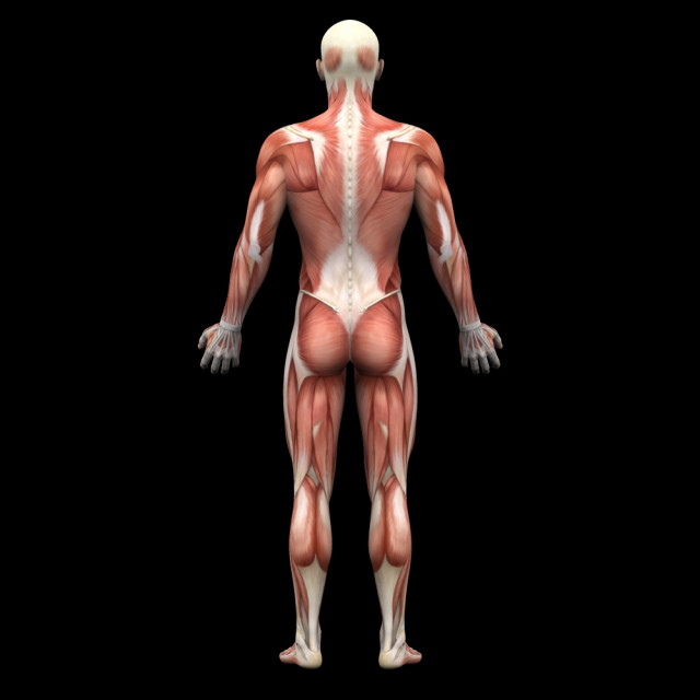筋肉図背面