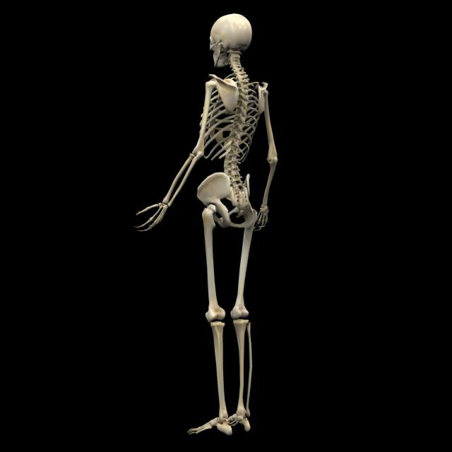 女性の骨格図