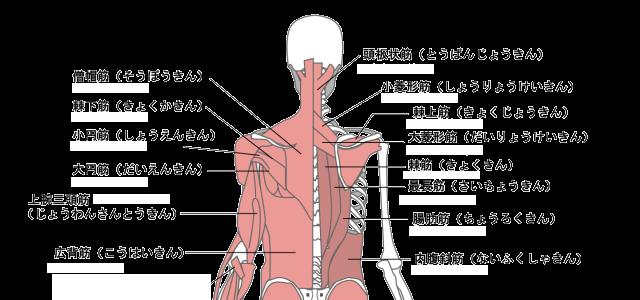 背中の筋肉図