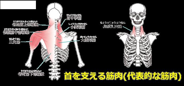 首の筋肉図