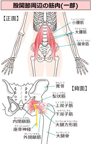 股関節周辺筋